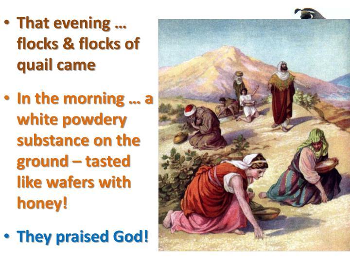 That evening … flocks & flocks of quail came