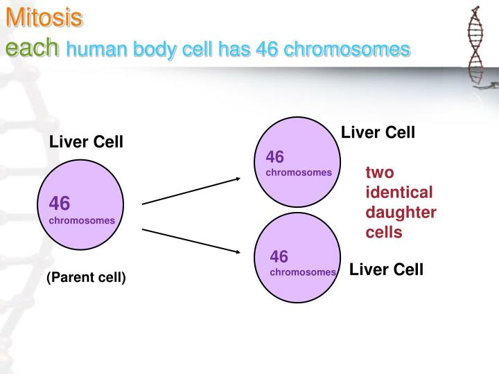 Mitosis each human body cell has 46 chromosomes