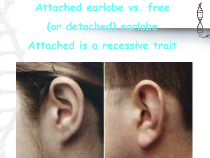 Attached earlobe vs. free