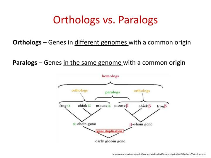 Orthologs vs paralogs