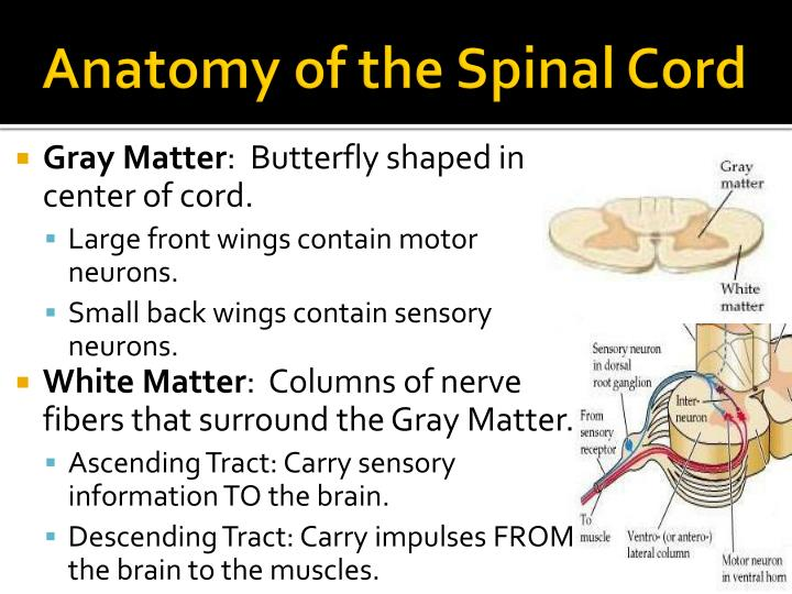 Ppt Anatomy Of The Brain Spinal Cord Powerpoint