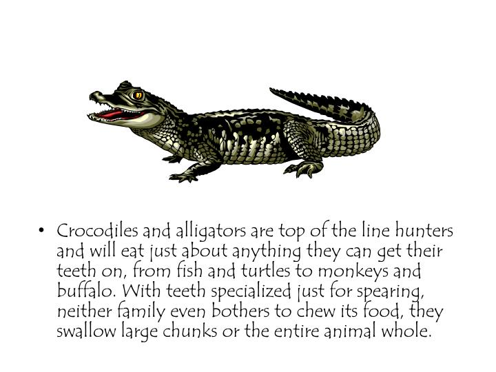 Crocodiles and alligators are top of the line hunters and will eat just about anything they can get their teeth on, from fish and turtles to monkeys and buffalo. With teeth specialized just for spearing, neither family even bothers to chew its food, they swallow large chunks or the entire animal whole.