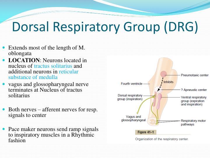Dorsal Respiratory Group (DRG)