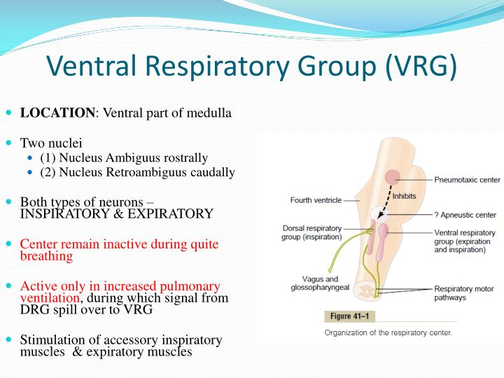 Ventral Respiratory Group (VRG)