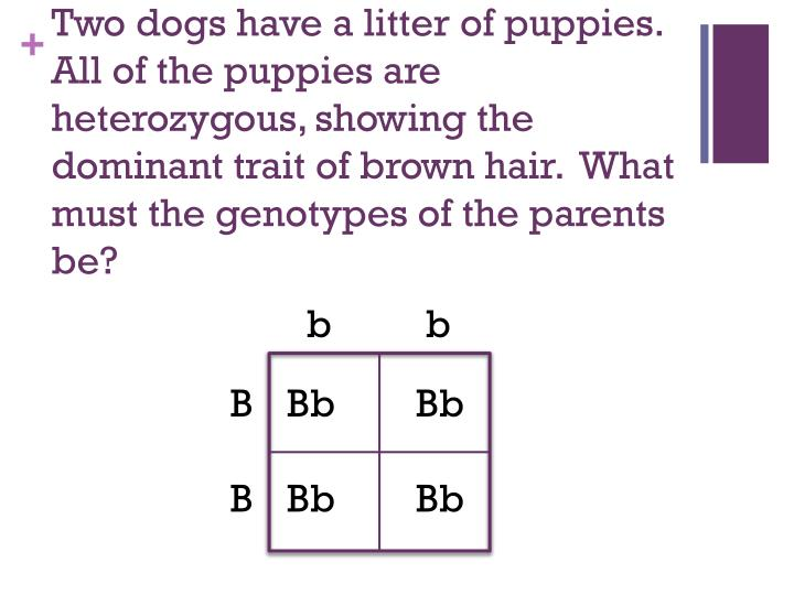 Two dogs have a litter of puppies.  All of the puppies are heterozygous, showing the dominant trait of brown hair.  What must the genotypes of the parents be?