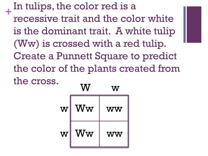 In tulips, the color red is a recessive trait and the color white is the dominant trait.  A white tulip (