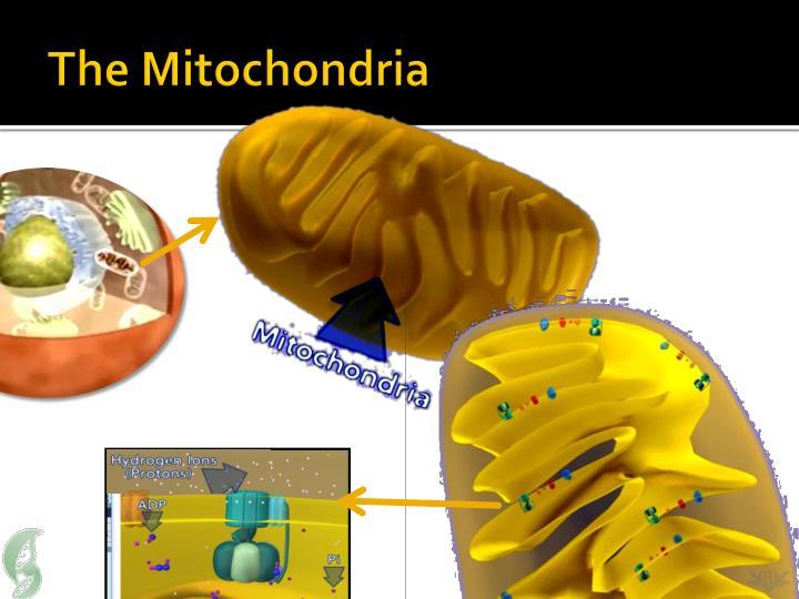The Mitochondria