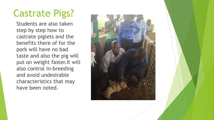 Castrate Pigs?