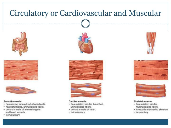 Circulatory or Cardiovascular and Muscular