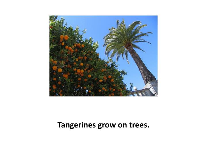 Tangerines grow on trees.