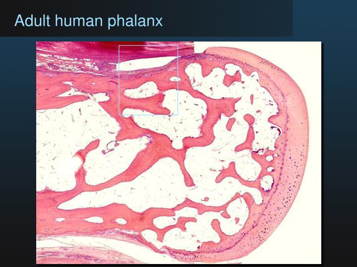 Adult human phalanx