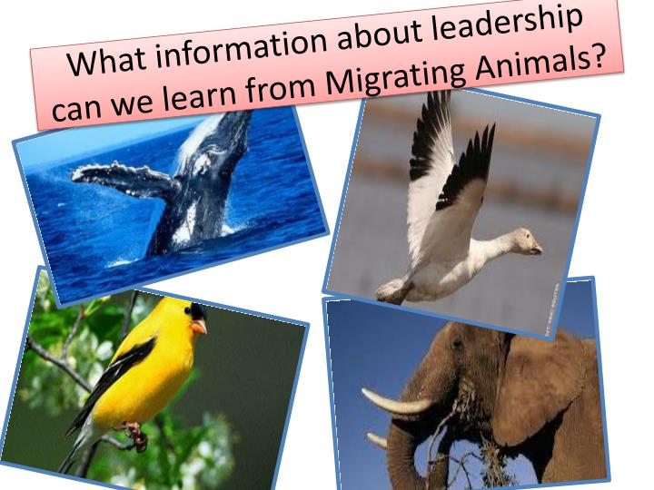 What information about leadership can we learn from Migrating Animals?