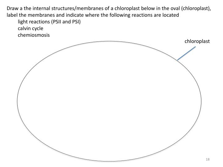 Draw a the internal structures/membranes of a chloroplast below in the oval (chloroplast), label the membranes and indicate where the following reactions are located