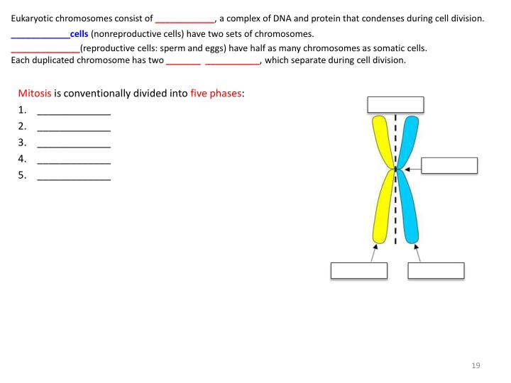 Eukaryotic chromosomes consist of