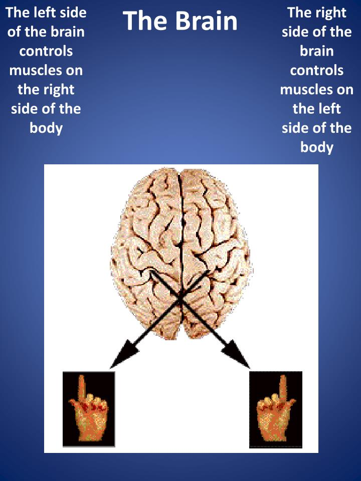 The left side of the brain controls muscles on the right side of the body