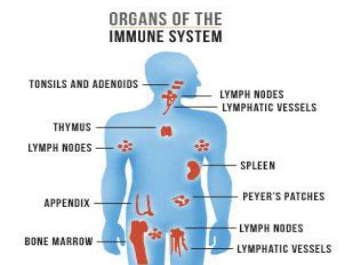 Describing Organs: The Lymphoid Organs
