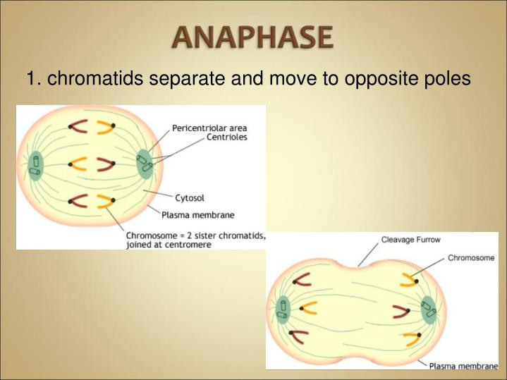 1. chromatids separate and move to opposite poles