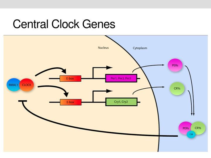 Central Clock Genes