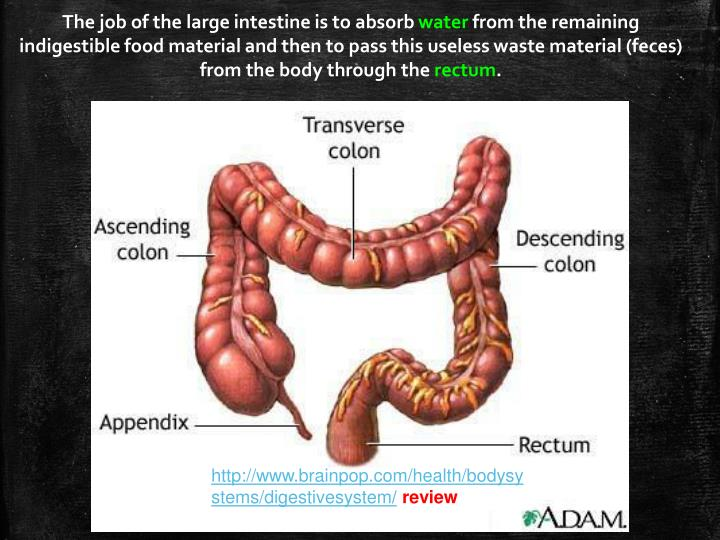 The job of the large intestine is to absorb