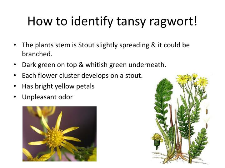 How to identify tansy ragwort