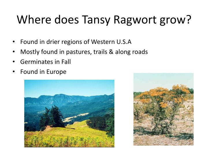 Where does Tansy Ragwort grow?