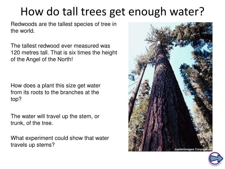 How do tall trees get enough water?