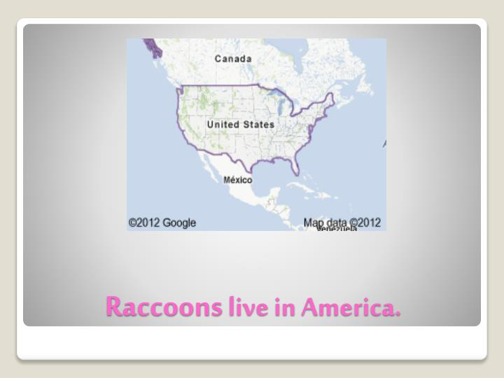 R accoons live in america