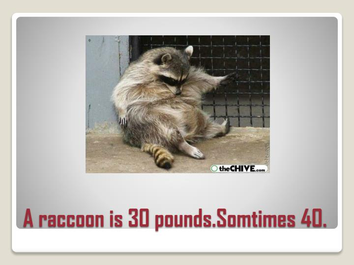 A raccoon is 30 pounds somtimes 40