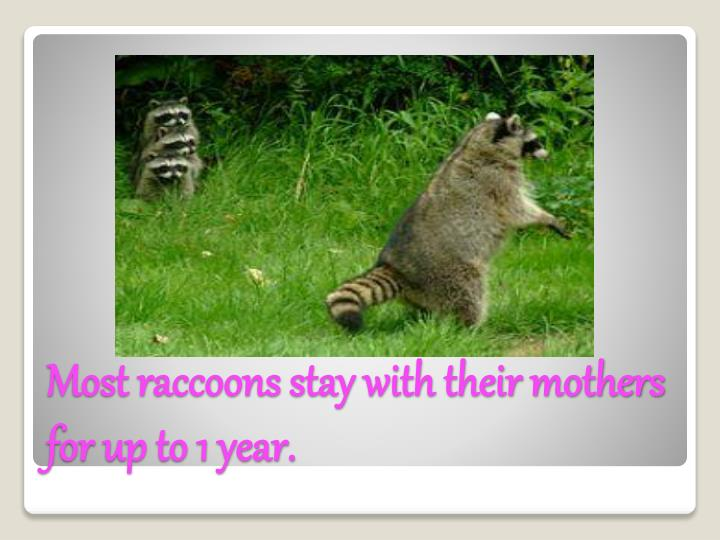 Most raccoons stay with their mothers for up to 1 year.