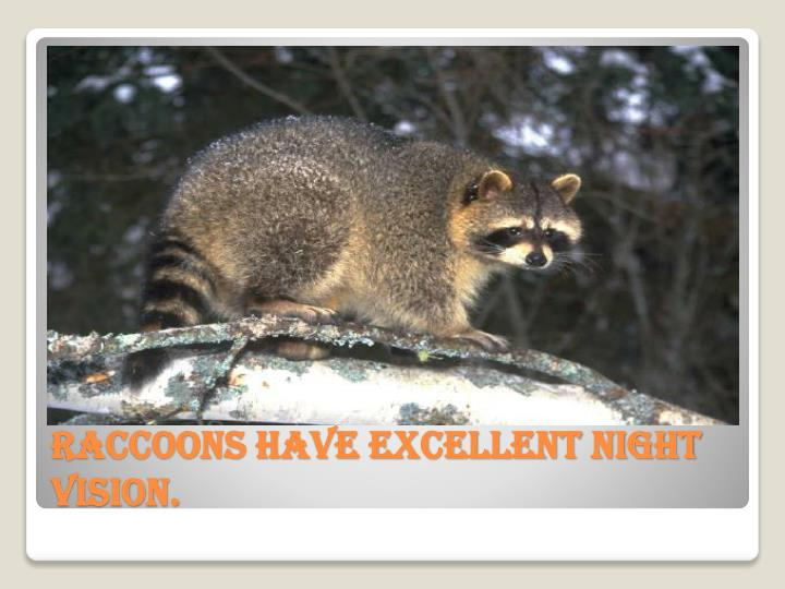 Raccoons have excellent night vision