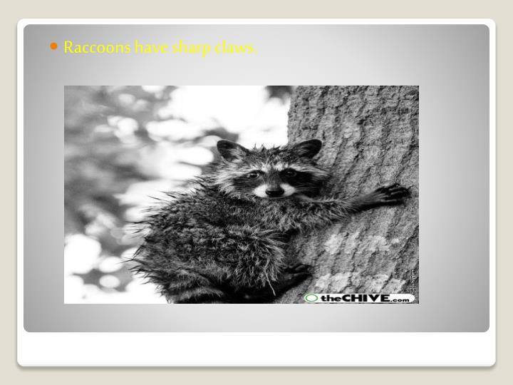 Raccoons have sharp claws.