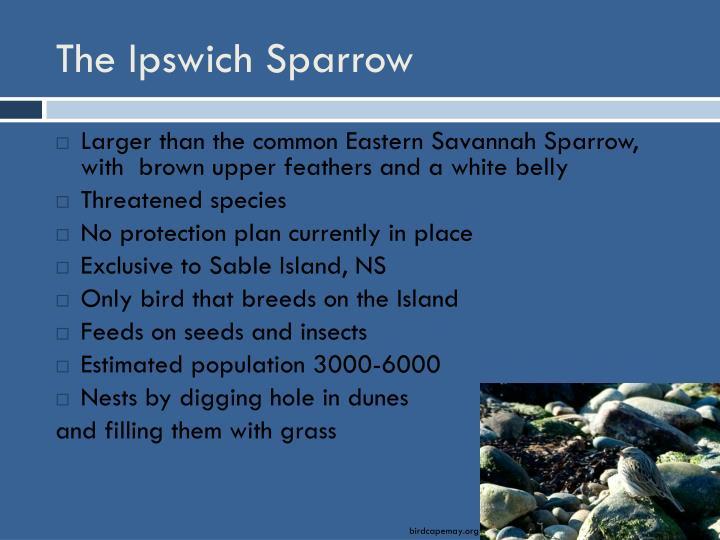 The Ipswich Sparrow