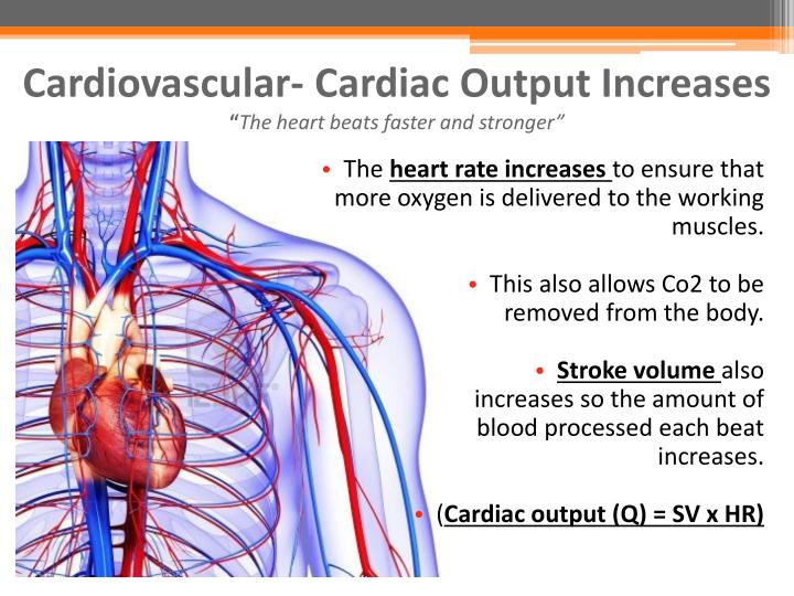 Cardiovascular- Cardiac Output Increases