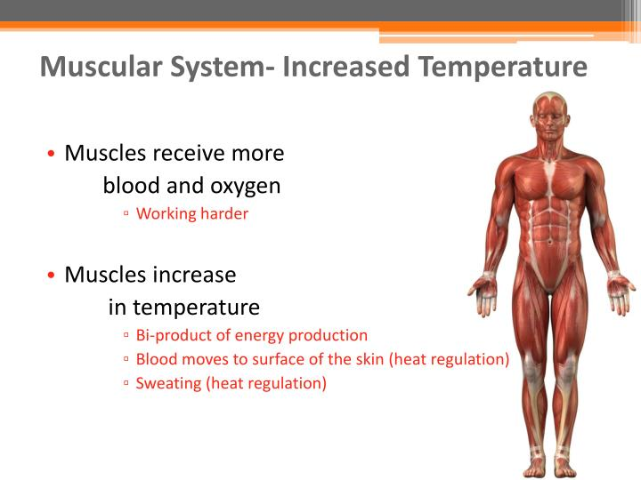 Muscular System- Increased Temperature