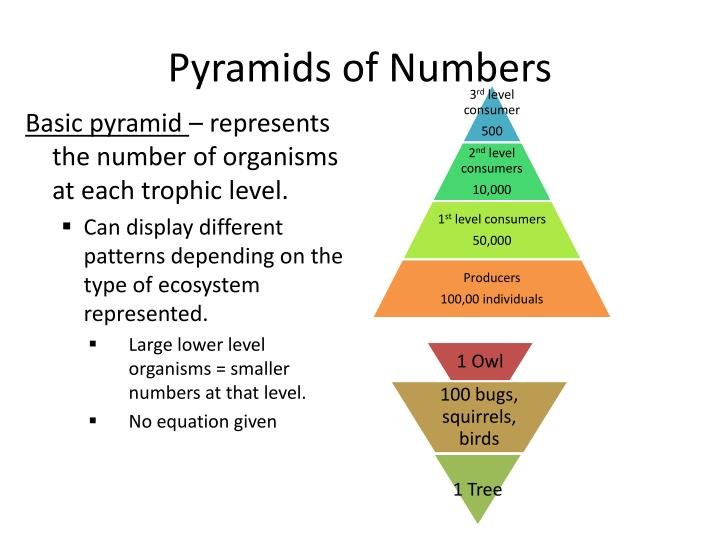 PPT - Pyramids of numbers Pyramids of biomass Pyramids of ...
