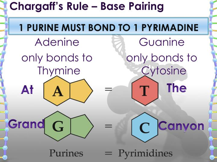 Chargaff's Rule – Base Pairing