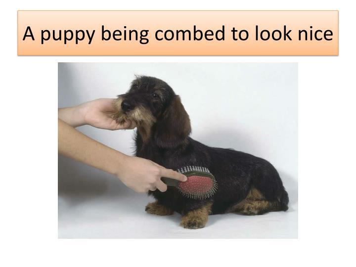 A puppy being