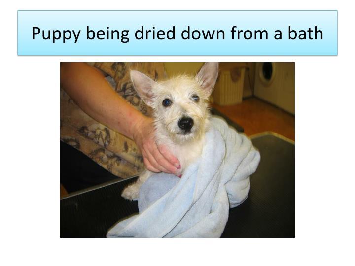 Puppy being dried
