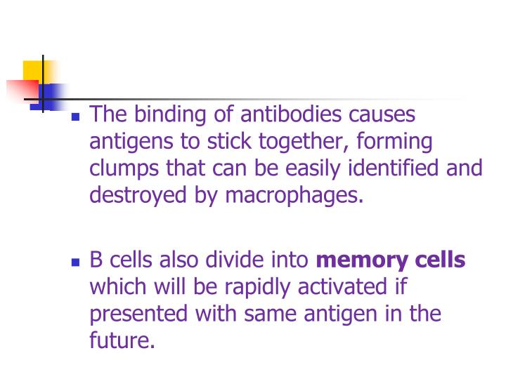 The binding of antibodies causes antigens to stick together, forming clumps that can be easily identified and destroyed by macrophages.