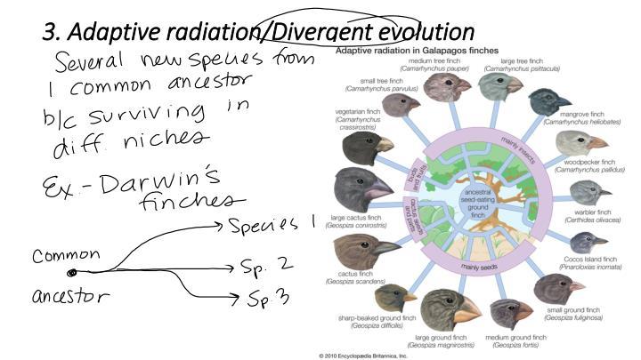3. Adaptive radiation/Divergent evolution