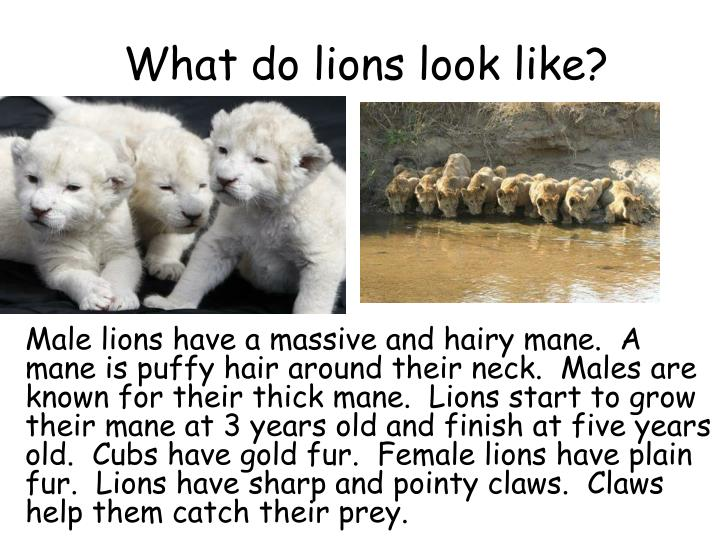 What do lions look like?