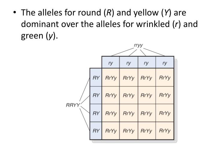 The alleles for round (