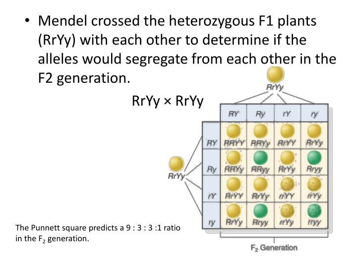 Mendel crossed the heterozygous F1 plants (