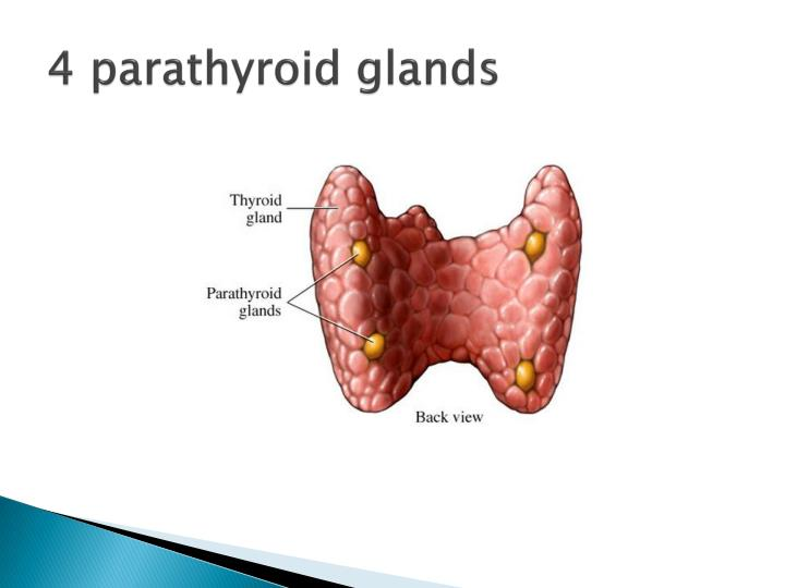 4 parathyroid glands
