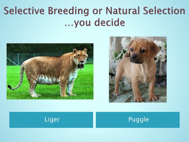 Natural Selection Breeding