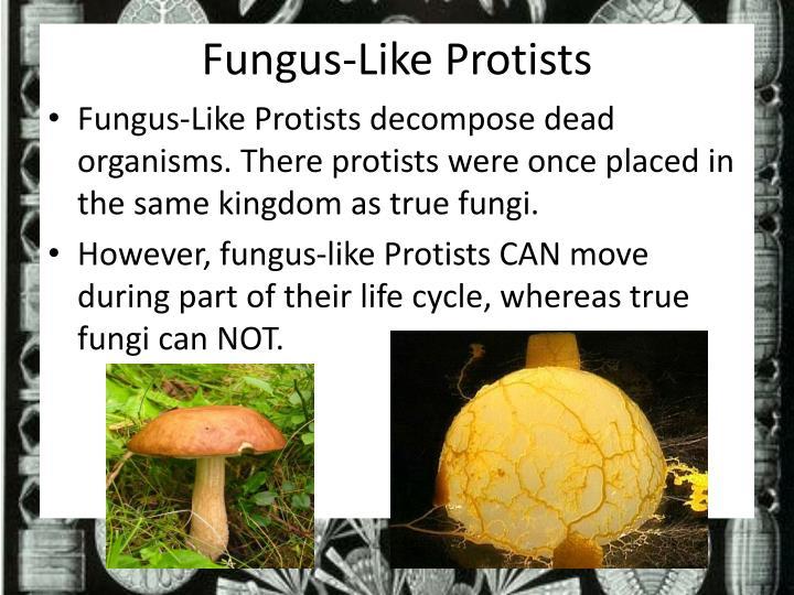 Fungus-Like Protists