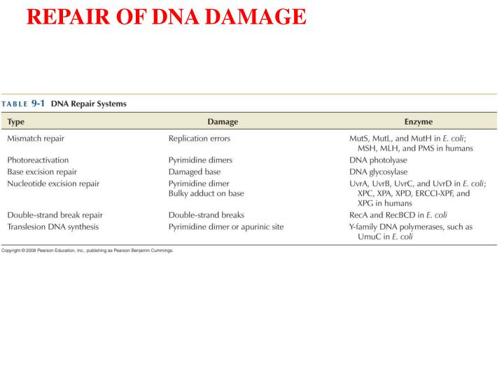 REPAIR OF DNA DAMAGE