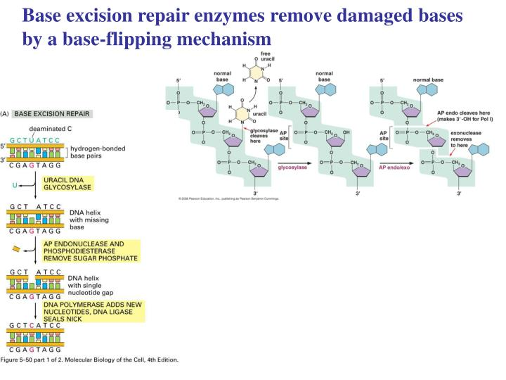 Base excision repair enzymes remove damaged bases by a base-flipping mechanism