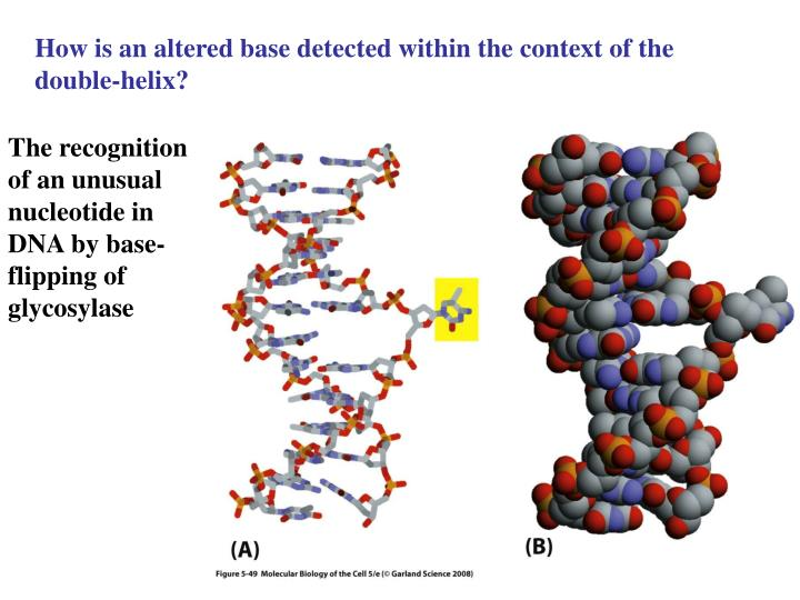 How is an altered base detected within the context of the double-helix?