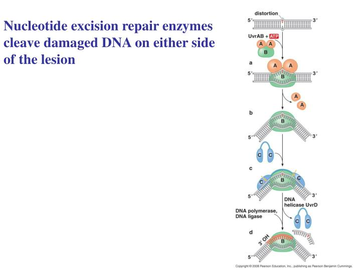 Nucleotide excision repair enzymes cleave damaged DNA on either side of the lesion